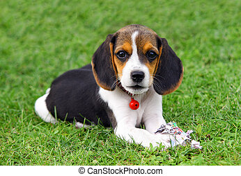 Cute Beagle puppy in the grass plays with paper