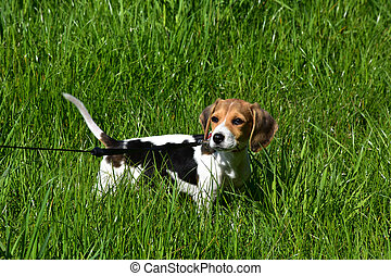 Cute Beagle Puppy Looking Back Over His SHoulder
