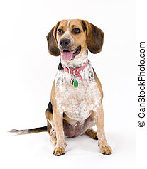 Cute Beagle Sitting, Isolated on White Background.