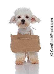 cute beggar bichon puppy with empty billboard around neck