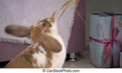 Cute beige bunny resting in studio - Video footage of fluffy...