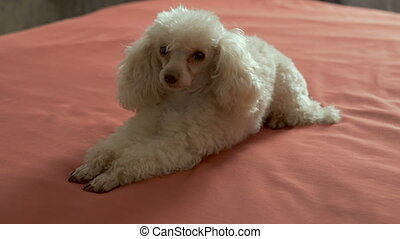 Cute beige poodle lying on the bed. A petite affectionate dog who loves to play and is always happy to host.