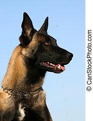 cute belgian dog - purebred belgian shepherd malinois...