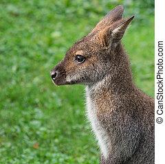 Cute Bennet Kangaroo on a meadow