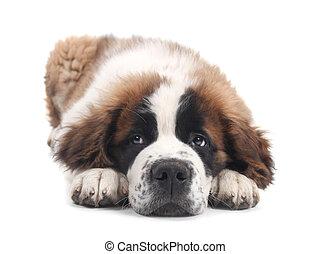 cute, bernard santo, purebred, filhote cachorro