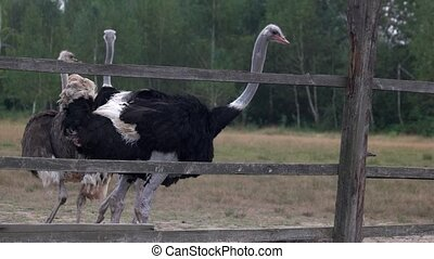 Cute big ostriches walking on farm field. Animals at breeding farm. View through wooden fence.