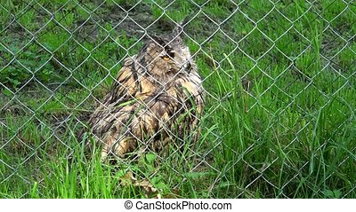 Cute bird horned eagle owl bubo bubo behind the fence in zoo zoological garden