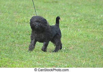 Cute Black Affenpinscher Dog