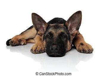 cute black and brown shepard dog lying