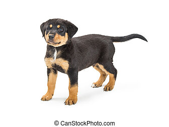 Cute Black and Tan Puppy Standing on White