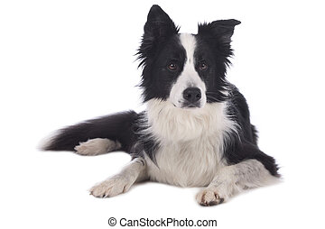 Cute black and white border collie dog lying