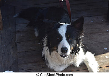 Cute black and white border collie looking up