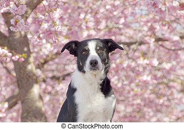 Cute black and white dog enjoy the beautiful cherry bloom