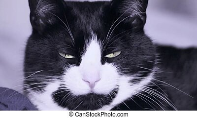 Cute Black and White Tuxedo Cat Looking at the Camera and...