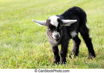 Cute Black Baby Goat Outside on the Farm