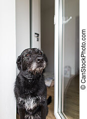 Cute black dog home, waiting for his owner