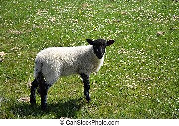 Cute Black Faced Suffolk Lamb in a Field
