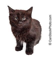 Cute Black Kitten on White