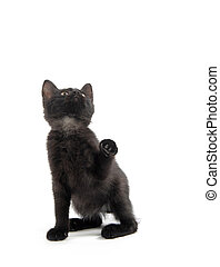 Cute black kitten with paw up