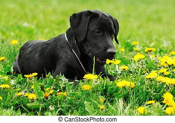 cute black Labrador puppy lies on the grass