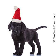 cute black labrador retriever wearing santa claus hat for christmas