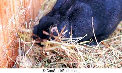 cute black rabbit.