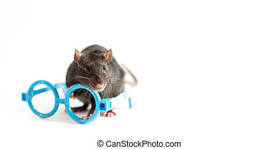 black rat stands near the blue rim of glasses on a white background