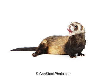 Cute blind ferret on reflective white background