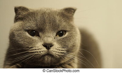 Cute blue Scottish Fold cat