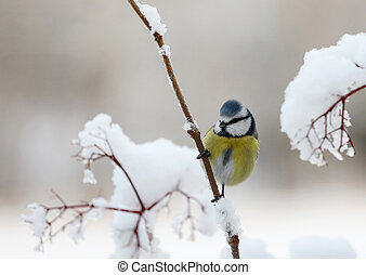 Cute blue tit bird sitting on a branch covered with snow