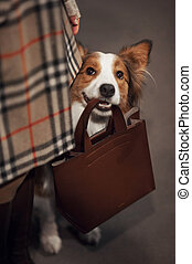 cute border collie dog holds a bag