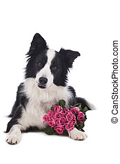 Cute border collie dog with roses
