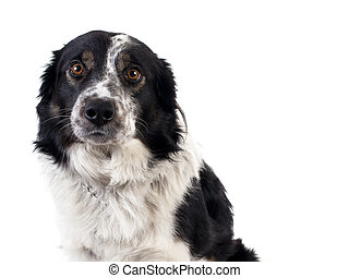 cute bordercollie isolated on white