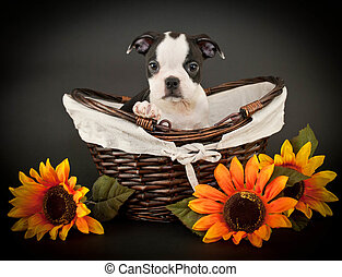 Cute Boston Terrier Puppy - Little Boston Terrier puppy...
