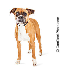 Cute Boxer Dog Standing Over White