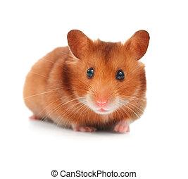 cute, branca, hamster, isolado