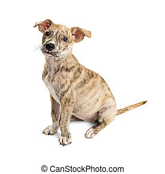 Cute Brindle Puppy Sitting Side on White