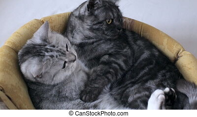 Cute British tabby cats hugging at home