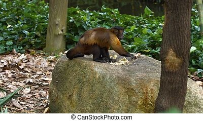 Cute monkey with brown and black fur eats while perched on a boulder in his habitat enclosure at the. UltraHD video