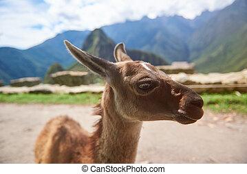 Cute brown baby lama in Machu Picchu city. Alpaca animal...