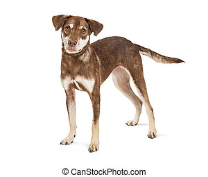 Cute Brown Dog on White