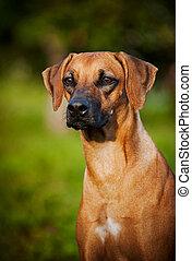 dog Ridgeback portrait