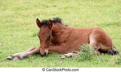 cute brown foal lying on pasture