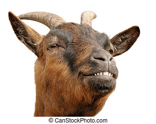 Cute brown goat?s grin - Cute animal portrait of a small ...