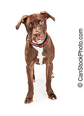 Cute Brown Mixed Breed Dog Over White
