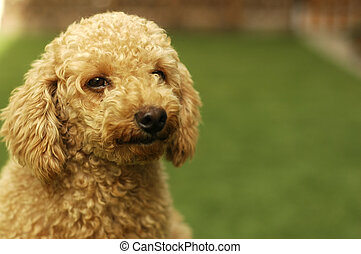 Cute Brown Poodle - A cute brown poodle looking into the...