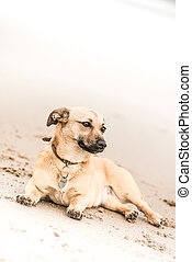 Cute brown puppy on a beach in Scotland - pet (dog) photography