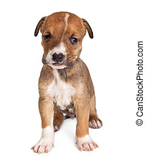 Cute Brown Puppy Sitting on White