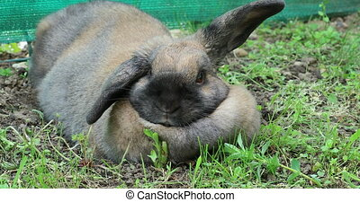Cute Brown Rabbit Lying On The Grass In The Garden