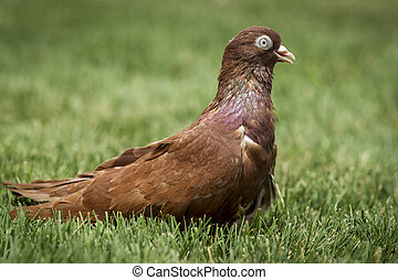 Cute brown rolling pigeon.